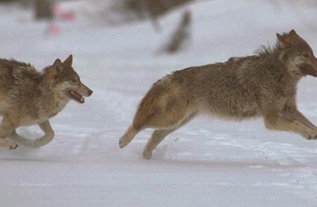 Apennijnen wolf