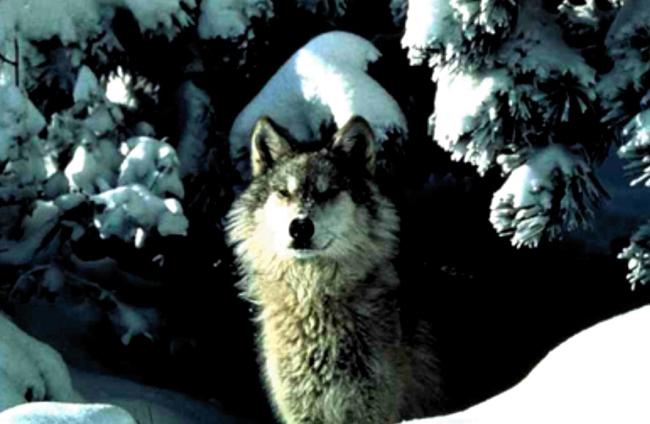Wolf P.N. del Gran Sasso 2